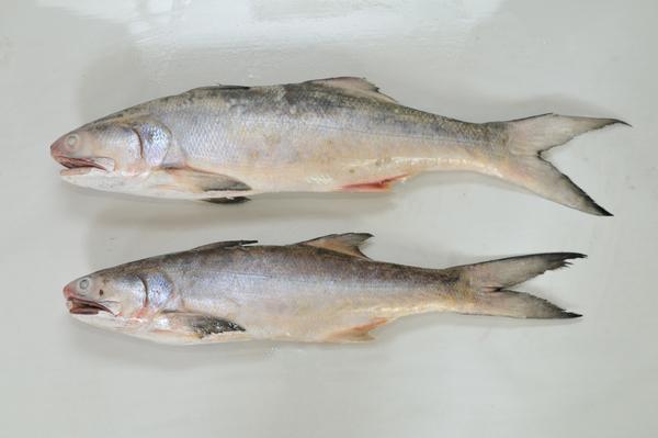 Threadfin